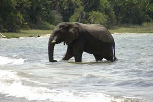 Elephant on Rubondo Island