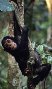 Baby monkey swinging on tree in Gombe