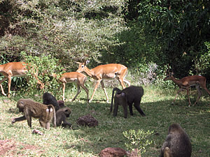 Wildlife in Manyara