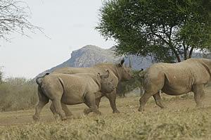 Rhinos in Mkomazi