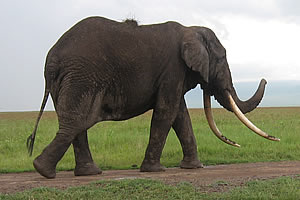 Elephant in Ngorongoro Crater