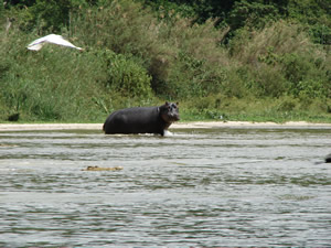 Hippo on shore in Sa Nane