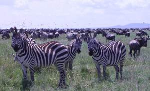 Zebras in Serengti