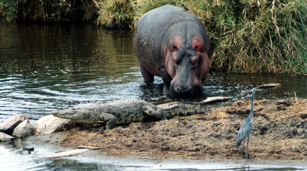 Hippo and Crocodile by the Water
