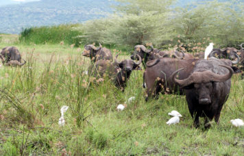 Buffalo at Lake Manyara National Park