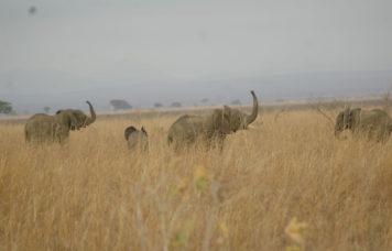 Elephant's at Mikumi National Park