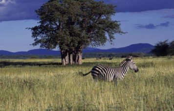 Zebra at Ruaha National Park