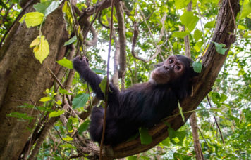 Chimpanzee in Tree