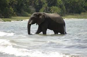 Elephant on Rubondo Island