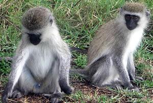 Monkeys in Arusha.