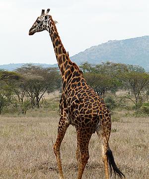 Giraffe in Arusha