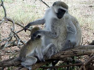 Monkey's in Manyara