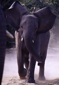 Elephant in Ruaha National Park