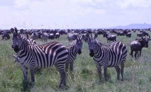 Zebras in Serengti