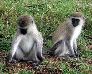 Monkeys in Tarangire