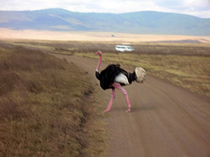 Ostrich Crossing the Road