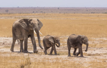 Animal Safari Elephants