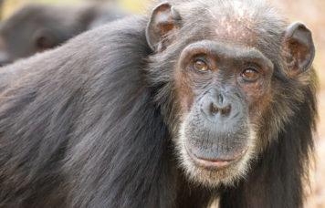 Monkey Gombe National Park