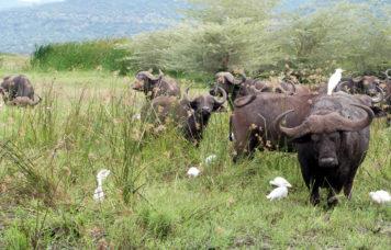Buffalo at Lake Manyara National Park
