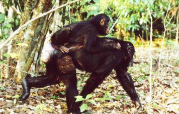 Monkey's Mahale National Park