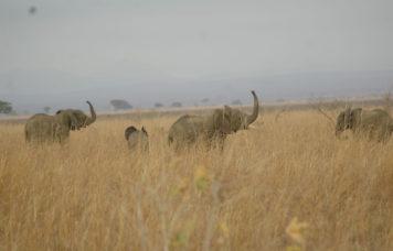 Elephant's at Mikumi National Park
