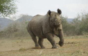 Rhinoceros at Mkomazi Park