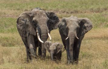 Elephants Safari Viewing