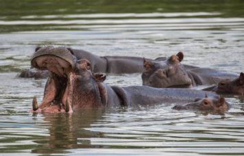 Hippos Yawn